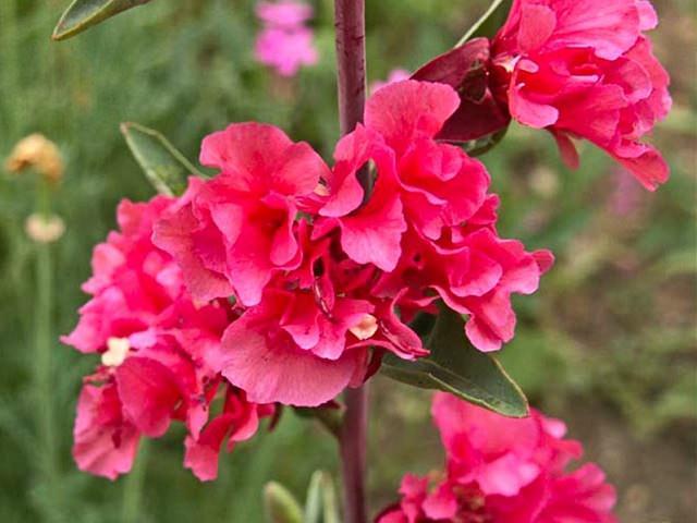 Цветы махровой кларкии крупным планом