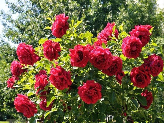 Кустовая роза желтая