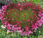 Композиция из цветков камнеломки