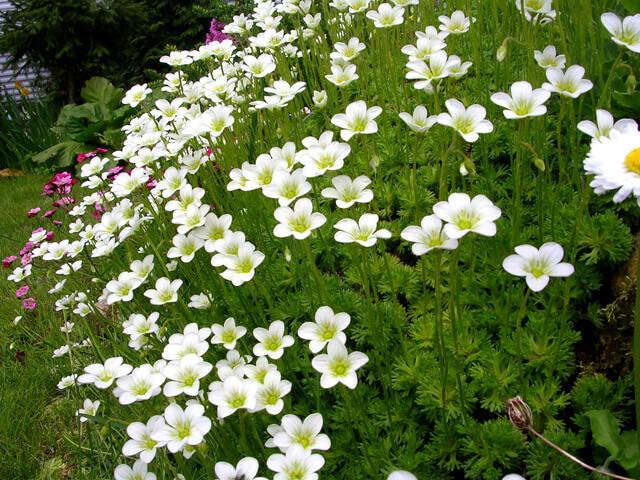 Цветки камнеломки Арендса
