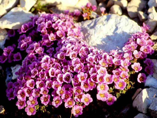 Цветки камнеломки крупным планом