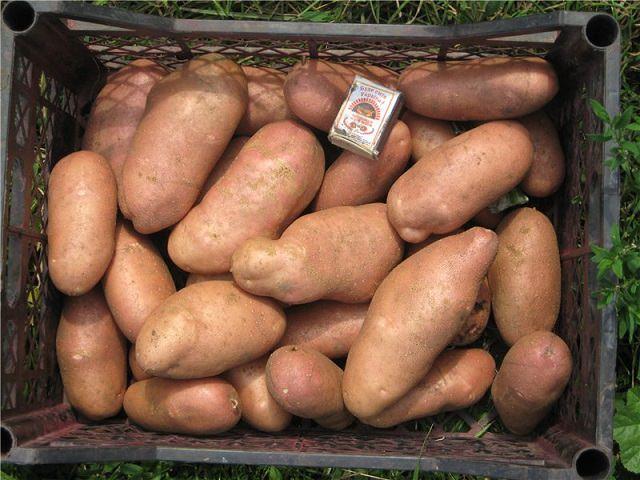 Сорт картофеля Ранняя роза