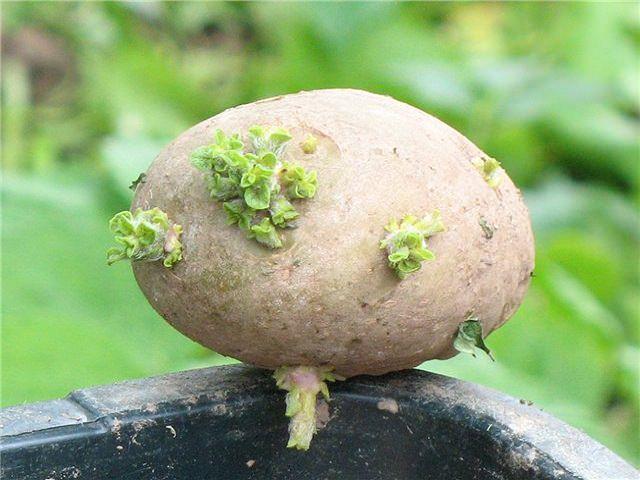 Пророщенный перед посадкой картофель