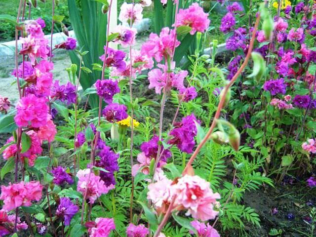Цветущая кларкия в саду
