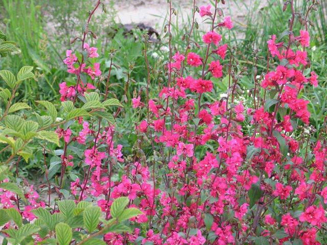 Кларкия фото цветов