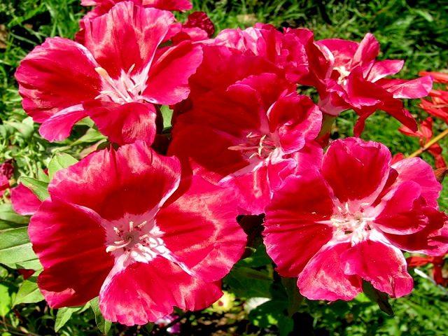 Цветы кларкии крупным планом