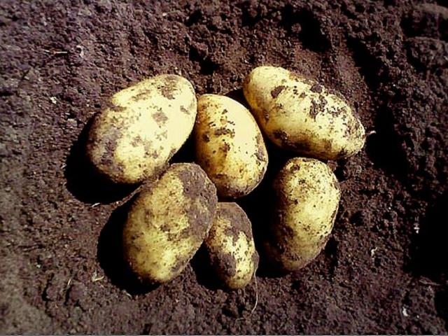 Нужно ли проращивать картофель перед посадкой