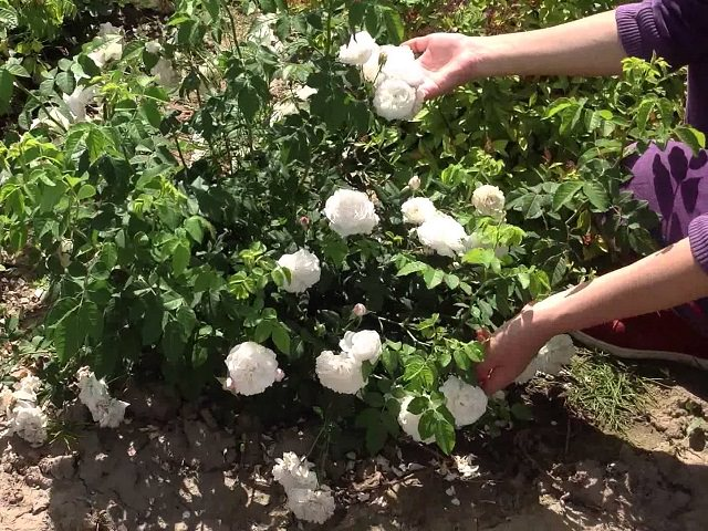 Роза кустовая фото