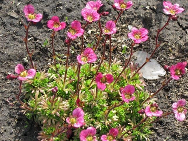 Высаженный кустик цветка камнеломка
