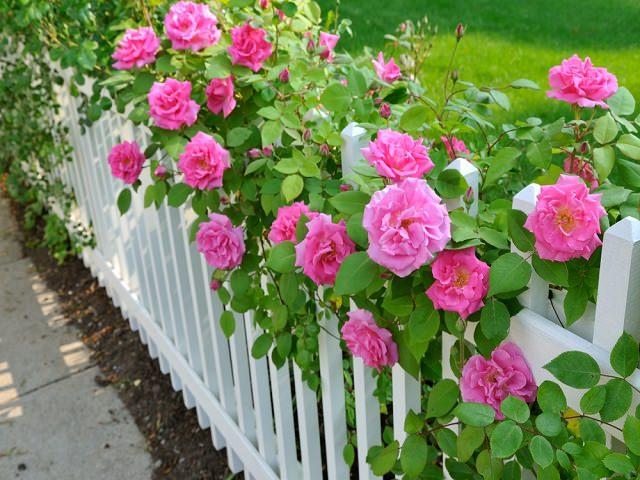 Роза спрей белая уход