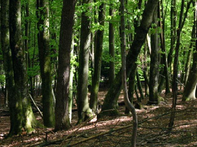 Деревья бука в лесу
