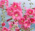 Цветы мальвы крупным планом