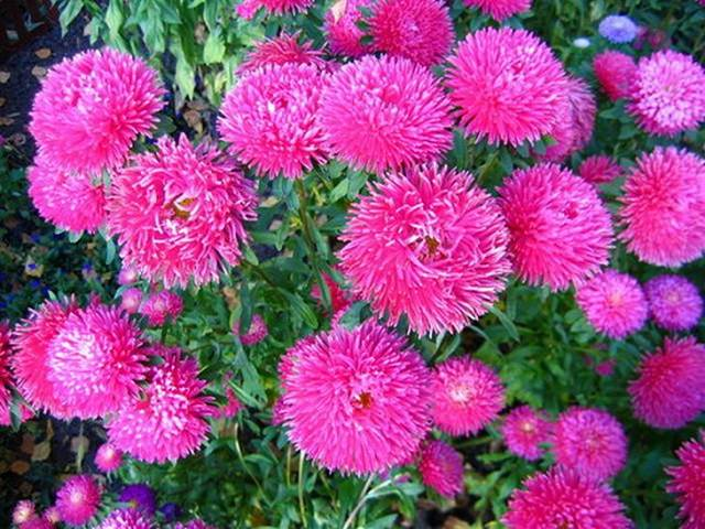 цветы многолетники фото