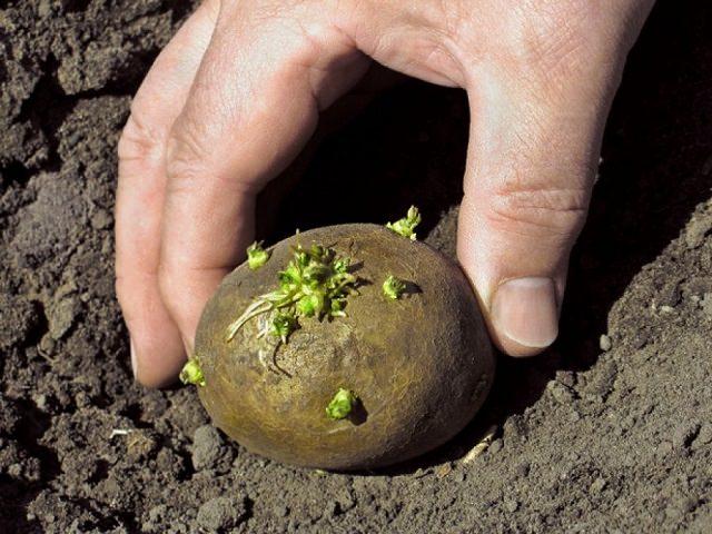 Сколько проращивать картофель?