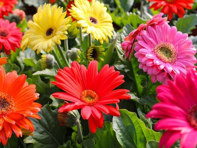 Герберы разных цветов