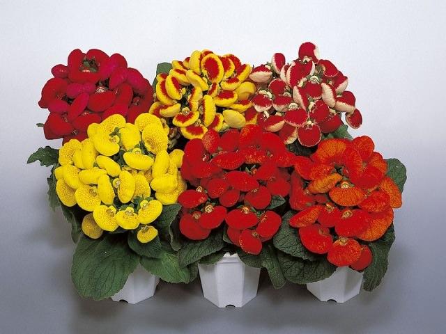 Что за цветок кальцеолярия 78