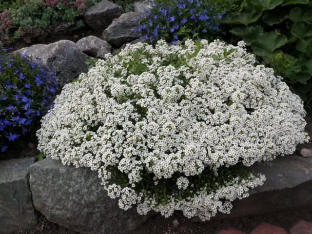 Алиссум бимбо белый многолетний