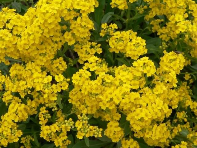 Лобелия  посадка цветов уход выращивание из семян