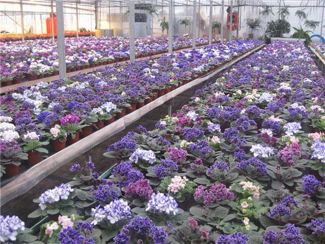Выращивание фиалок в теплице