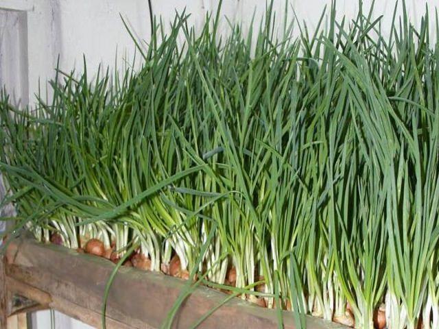 Занятся выращиванием зелени