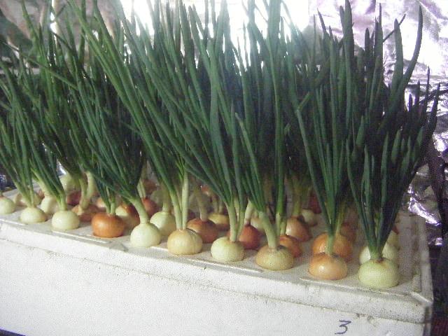 Как производят лук зеленый?