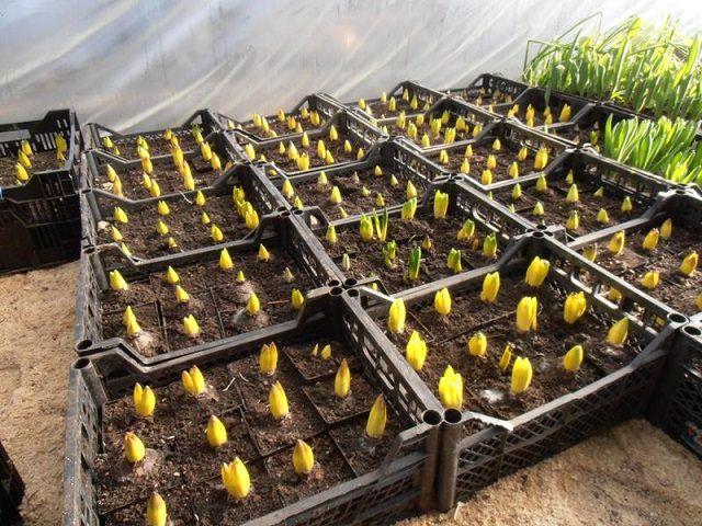 Посадка тюльпанов для выращивания в теплице