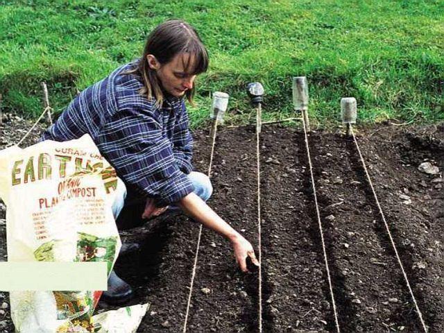 Посев моркови на грядку