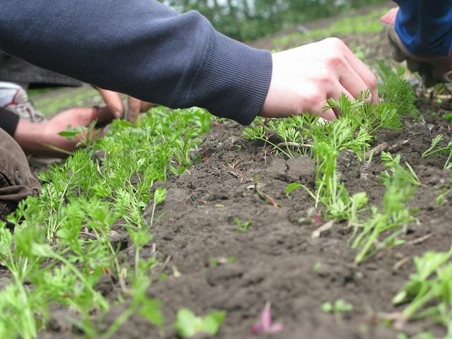 Выращивание моркови - прополка