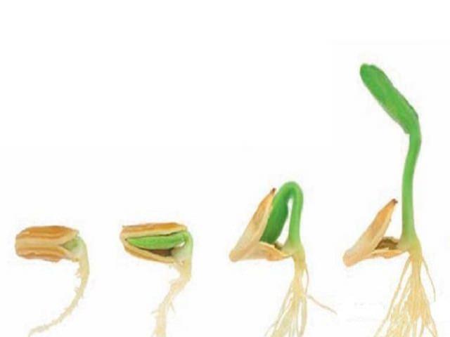 Этапы проращивания семян патиссона