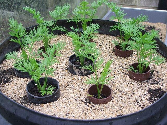 Выращивание рассады моркови