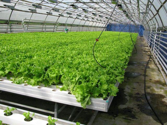 Выращивание зелени в теплице - листовой салат