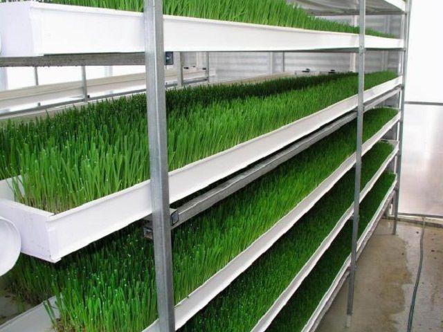 Выращивание зелени в теплице на стеллажах