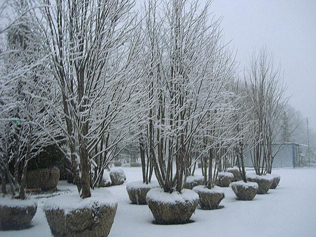посадка деревьев зимой