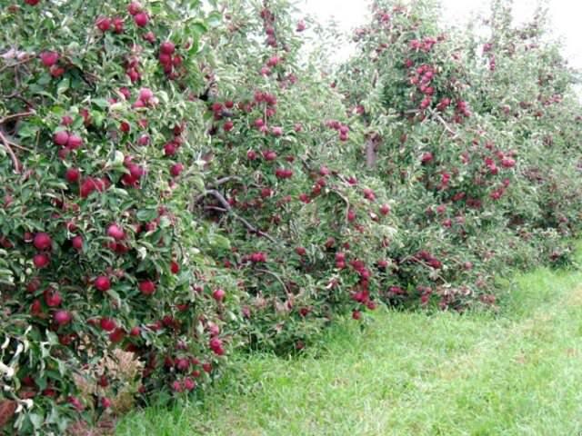 посадка яблонь