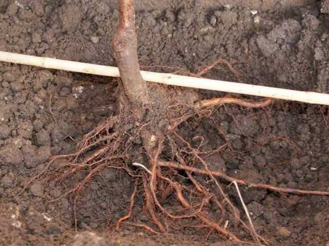 корень дерева при посадке