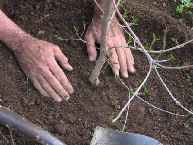 утрамбовка при посадке деревьев
