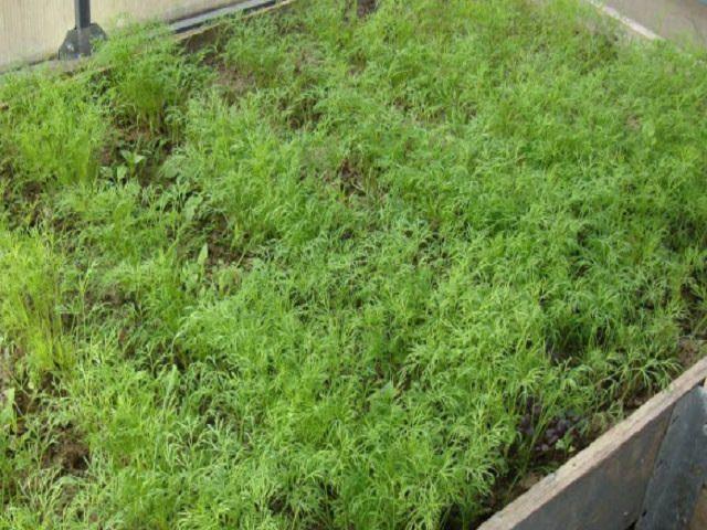 Выращивание зелени в теплице - укроп