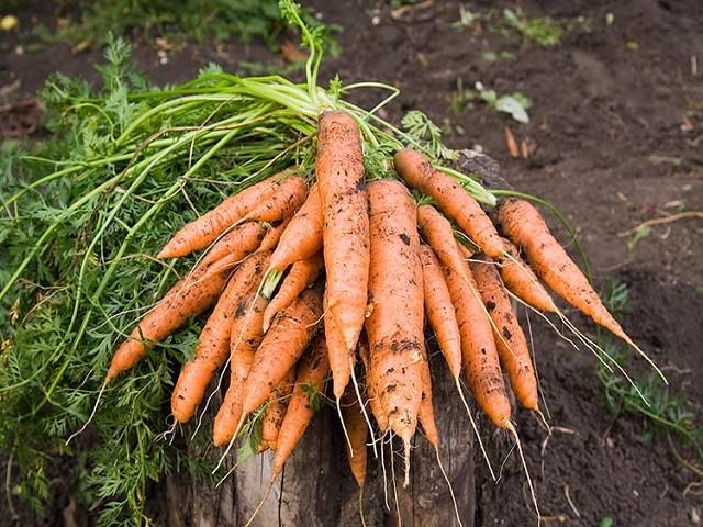 Урожай моркови крупным планом