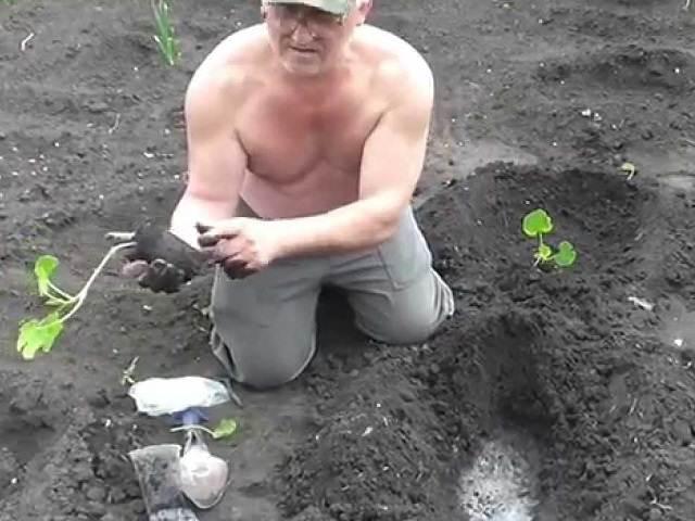 Высадка рассады патиссонов для выращивания в грунте