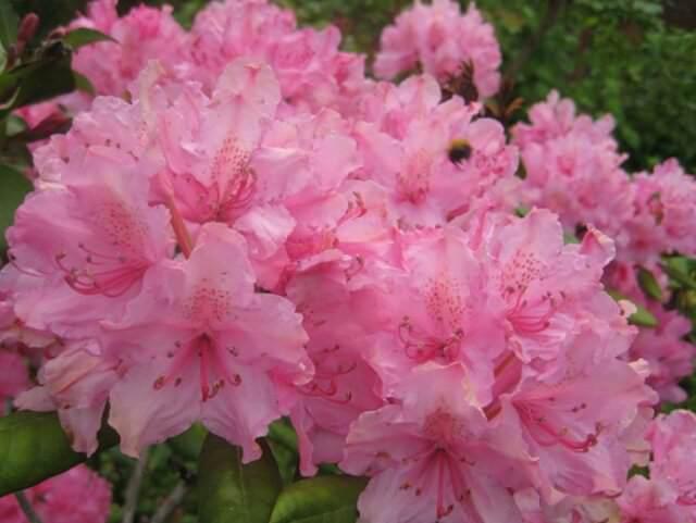 Когда цветет рододендрон в Подмосковье?