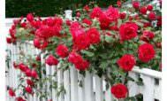 когда пересаживать розы