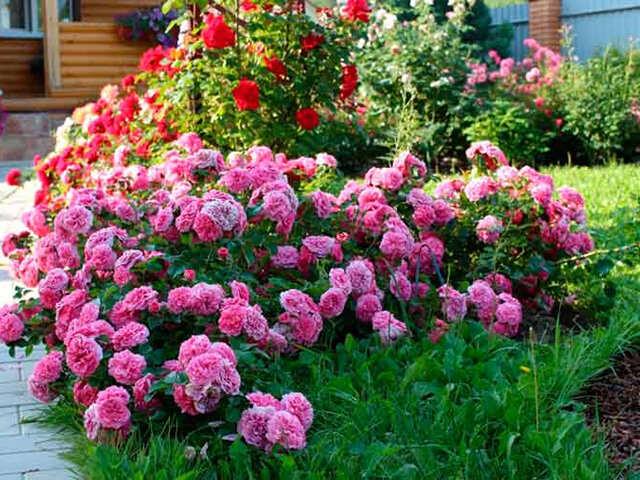 Примеры оформления клумб из роз