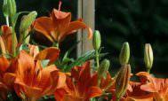клумба с лилиями