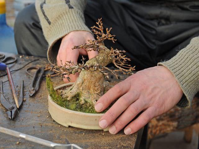 пересадка карликового деревца