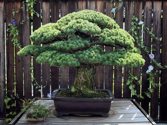 выращивание бонсая