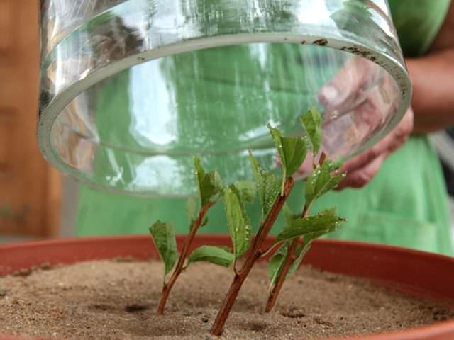 размножение декоративного кустарника