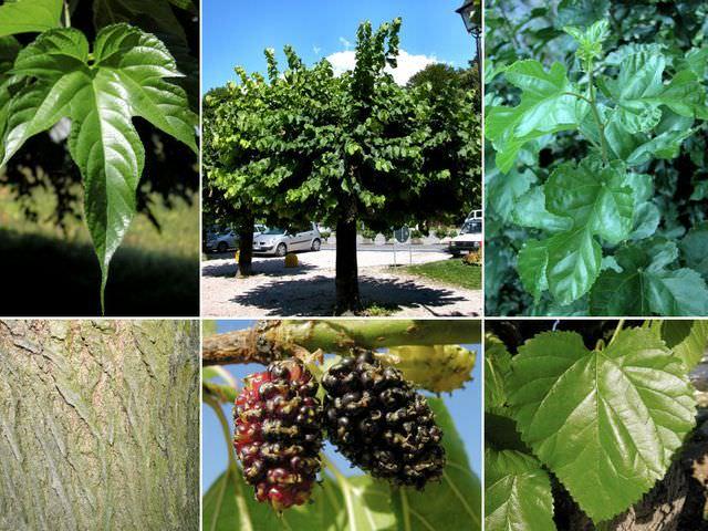 Как вырастить тутовое дерево