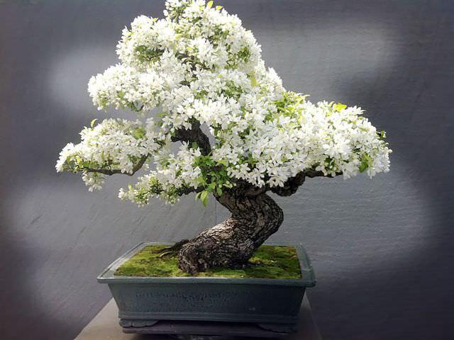 японское деревце из семян
