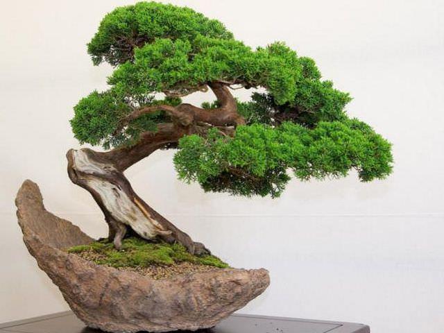 небольшое японское деревце