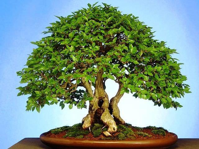 выращивание карликового деревца